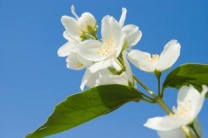 26.8 jasmine